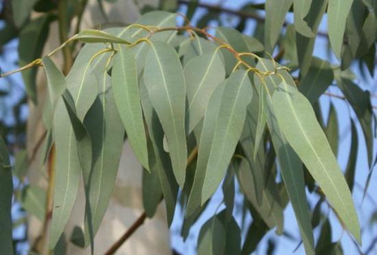 Huile essentielle d'Eucalyptus feuilles longues