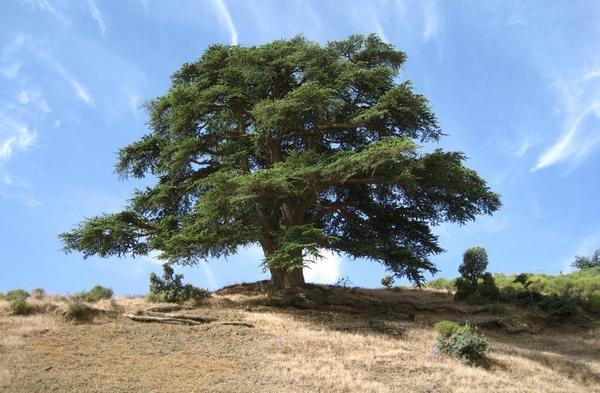 huile essentielle de Cèdre arbre