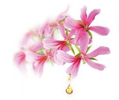 huile essentielle geranium rosat fleur