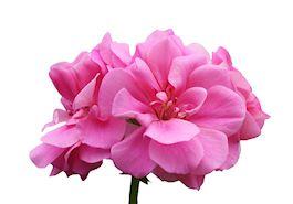 huile essentielle geranium rosat fleuri
