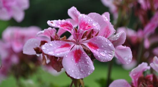 huile essentielle geranium rosat nature
