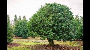 laurier arbre
